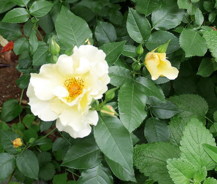 サプライズ(木立バラ)の花が増えて来た。2018年-19.jpg