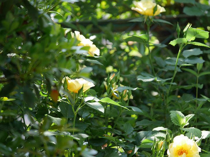 サプライズ(木立バラ)の花が増えて来た。2018年-2.jpg