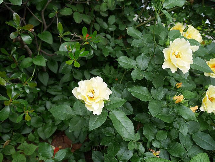 サプライズ(木立バラ)の花が増えて来た。2018年-20.jpg