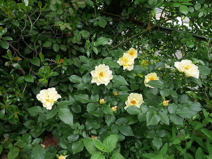 サプライズ(木立バラ)の花が増えて来た。2018年-22.jpg