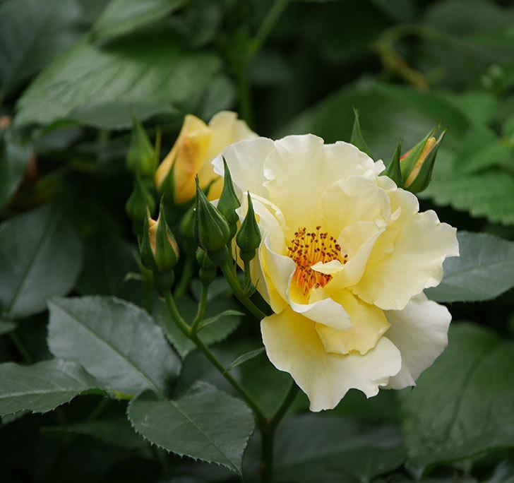 サプライズ(木立バラ)の花が増えて来た。2018年-23.jpg