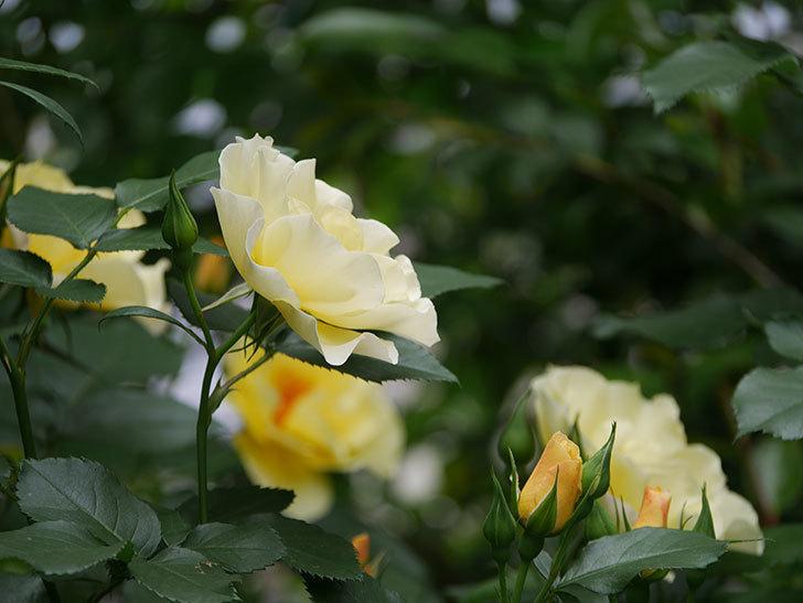 サプライズ(木立バラ)の花が増えて来た。2018年-24.jpg