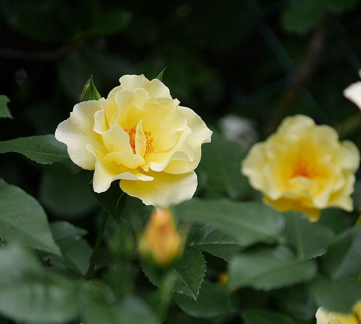 サプライズ(木立バラ)の花が増えて来た。2018年-26.jpg