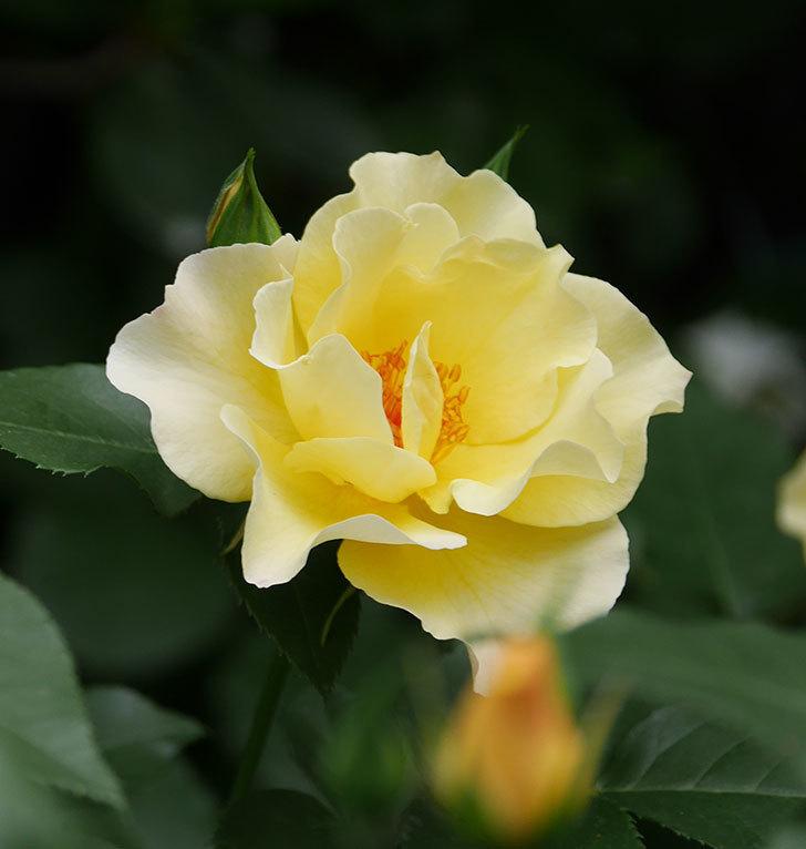 サプライズ(木立バラ)の花が増えて来た。2018年-27.jpg