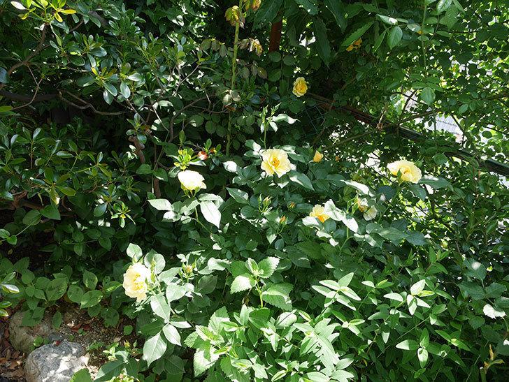 サプライズ(木立バラ)の花が増えて来た。2018年-5.jpg