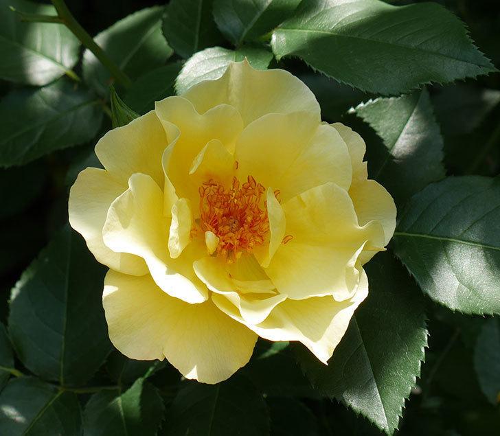 サプライズ(木立バラ)の花が増えて来た。2018年-9.jpg