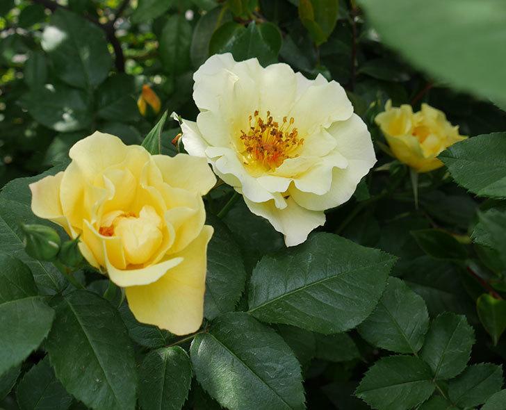 サプライズ(木立バラ)の花が次々と咲きだした。2019年-1.jpg