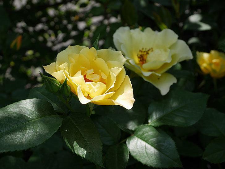 サプライズ(木立バラ)の花が次々と咲きだした。2019年-10.jpg