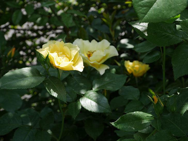 サプライズ(木立バラ)の花が次々と咲きだした。2019年-14.jpg