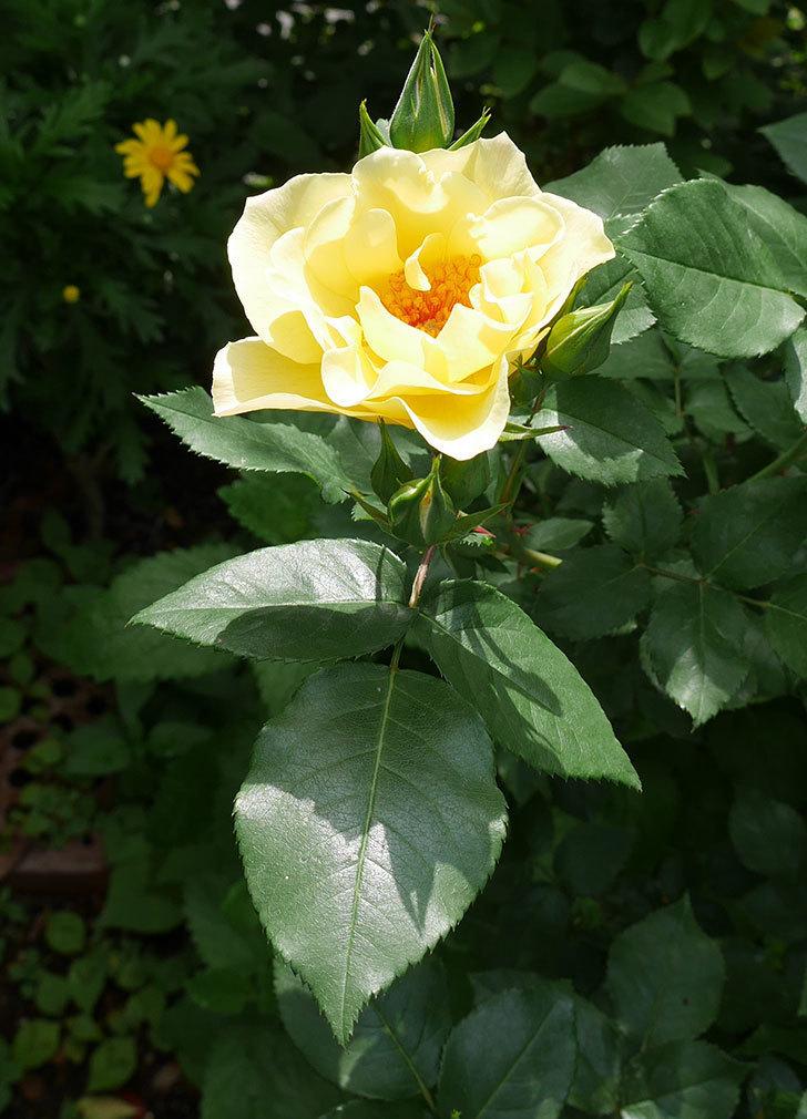 サプライズ(木立バラ)の花が次々と咲きだした。2019年-4.jpg
