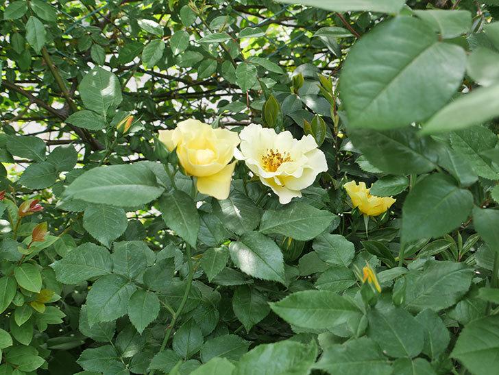 サプライズ(木立バラ)の花が次々と咲きだした。2019年-5.jpg