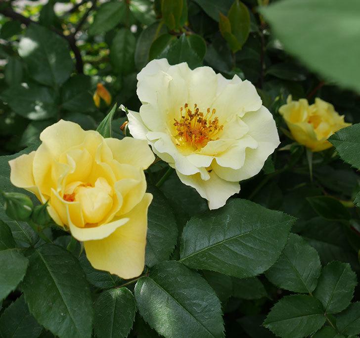 サプライズ(木立バラ)の花が次々と咲きだした。2019年-6.jpg