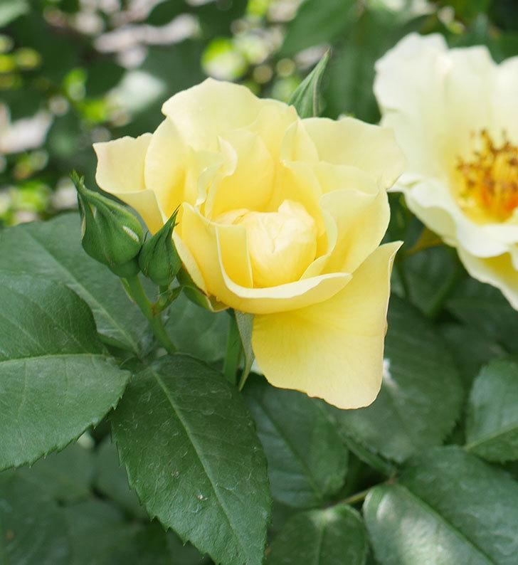 サプライズ(木立バラ)の花が次々と咲きだした。2019年-7.jpg