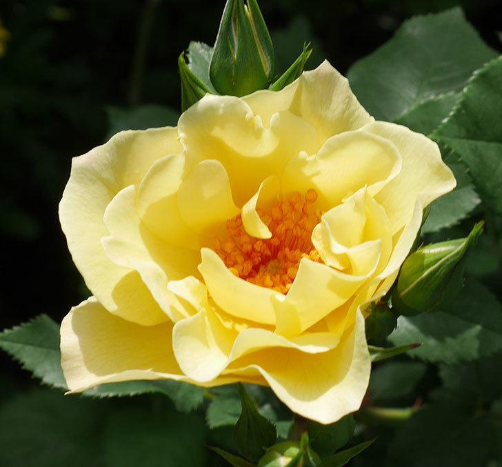 サプライズ(木立バラ)の花が次々と咲きだした。2019年-8.jpg