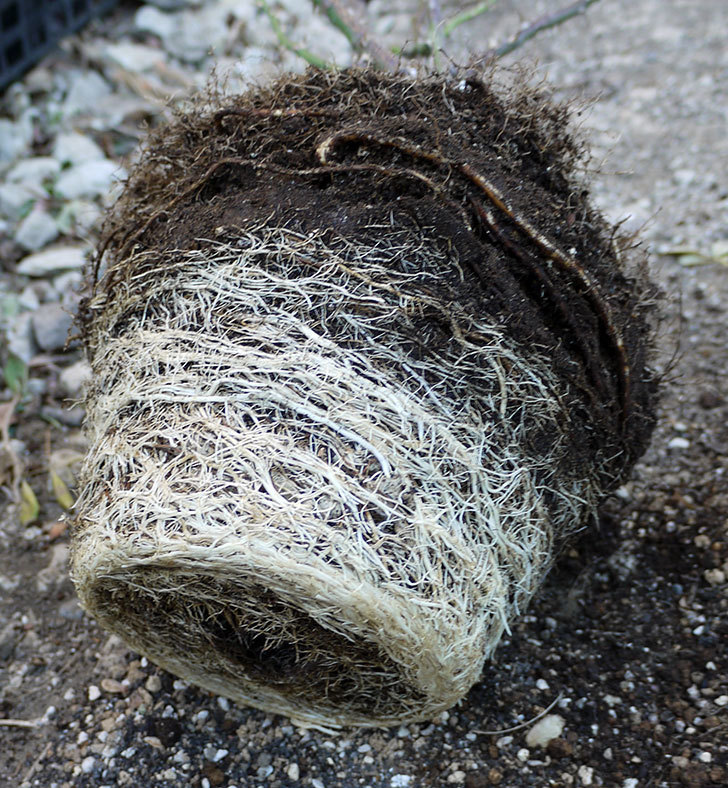 サプライズ(木立バラ)の鉢植えを地植えした。2017年-11.jpg
