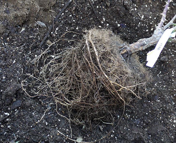 サプライズ(木立バラ)の鉢植えを地植えした。2017年-12.jpg