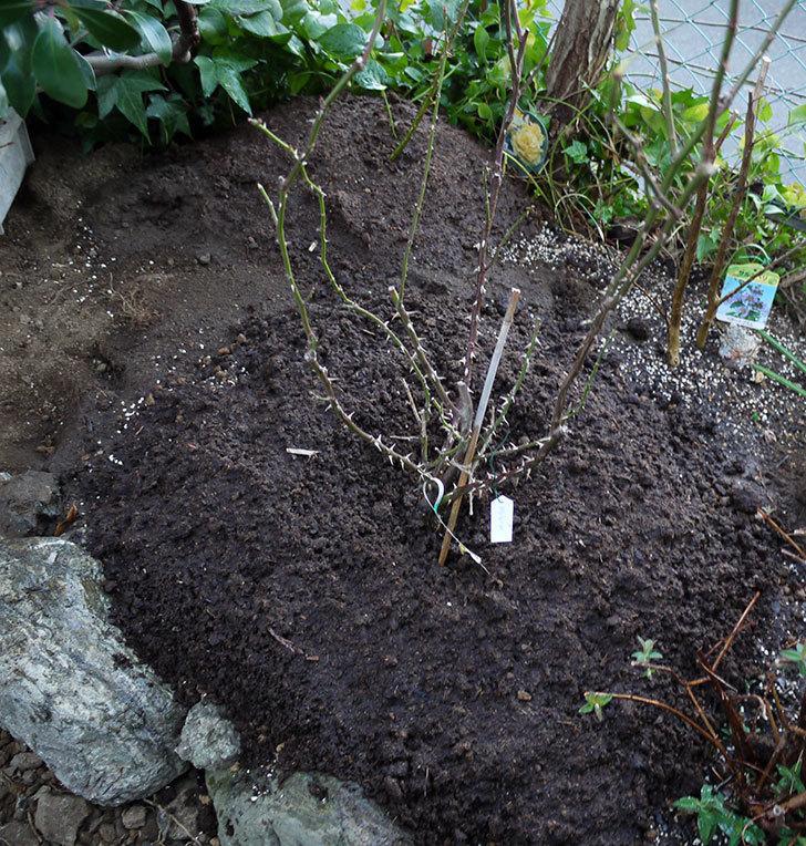 サプライズ(木立バラ)の鉢植えを地植えした。2017年-17.jpg