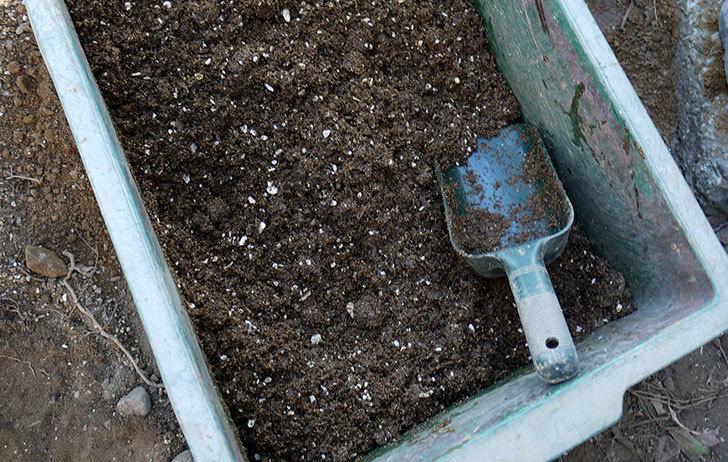 サプライズ(木立バラ)の鉢植えを地植えした。2017年-5.jpg