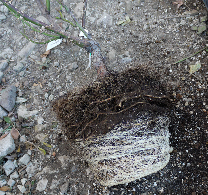 サプライズ(木立バラ)の鉢植えを地植えした。2017年-9.jpg