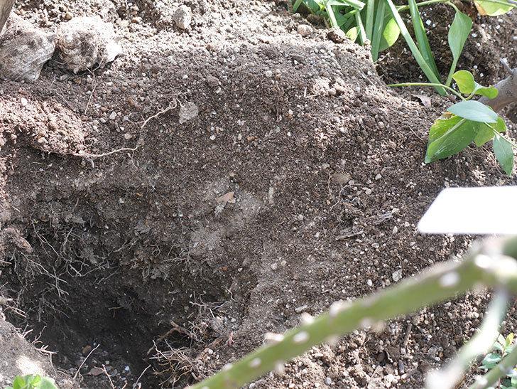 サプライズ(Surprise)に寒肥を施した。木立バラ。2021年-007.jpg