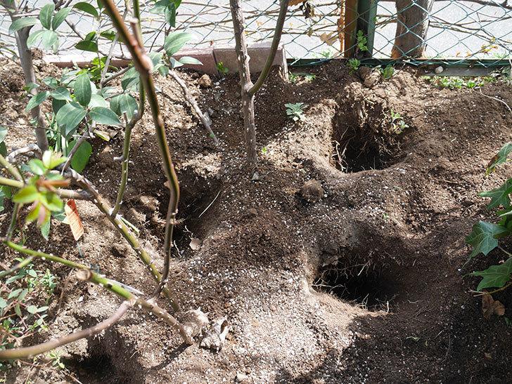 サプライズ(Surprise)に寒肥を施した。木立バラ。2021年-008.jpg