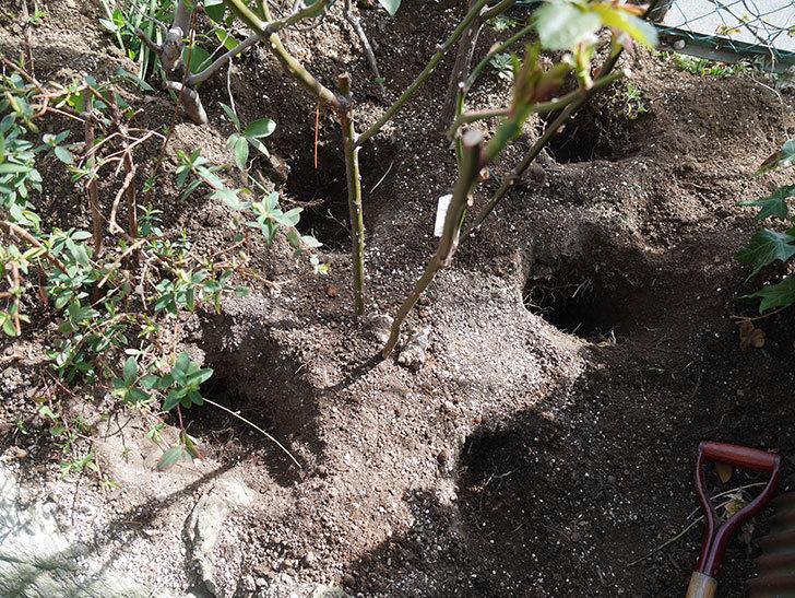 サプライズ(Surprise)に寒肥を施した。木立バラ。2021年-010.jpg