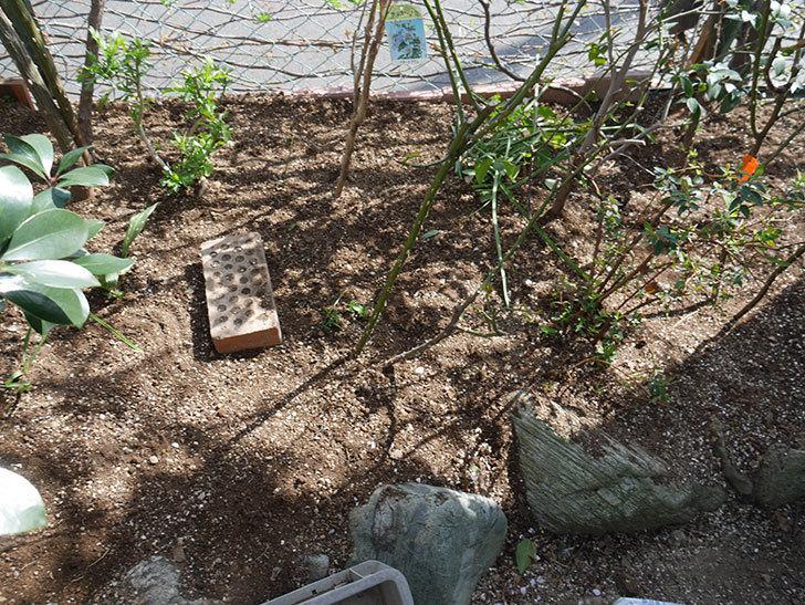 サプライズ(Surprise)に寒肥を施した。木立バラ。2021年-015.jpg