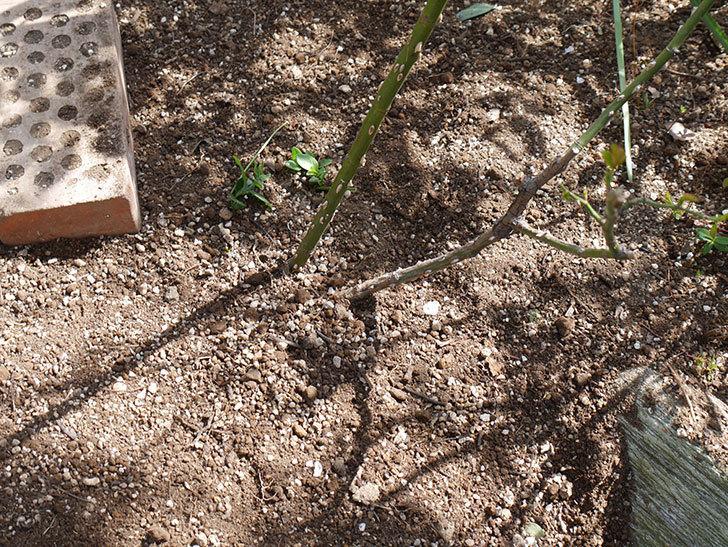 サプライズ(Surprise)に寒肥を施した。木立バラ。2021年-017.jpg