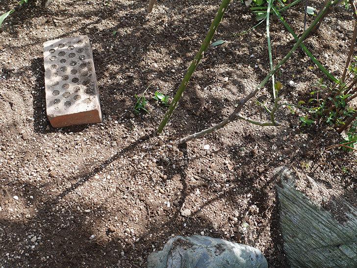 サプライズ(Surprise)に寒肥を施した。木立バラ。2021年-019.jpg