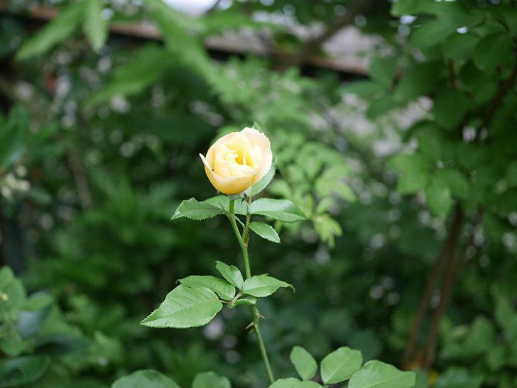 サプライズ(Surprise)の2番花が咲いた。木立バラ。2020年-002.jpg