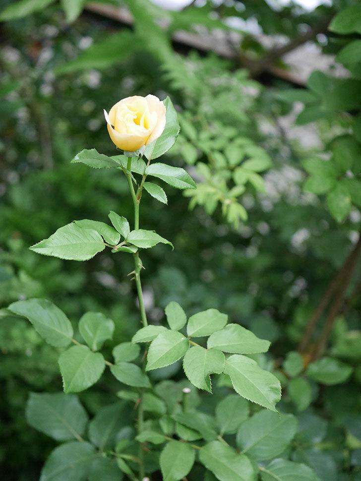 サプライズ(Surprise)の2番花が咲いた。木立バラ。2020年-003.jpg