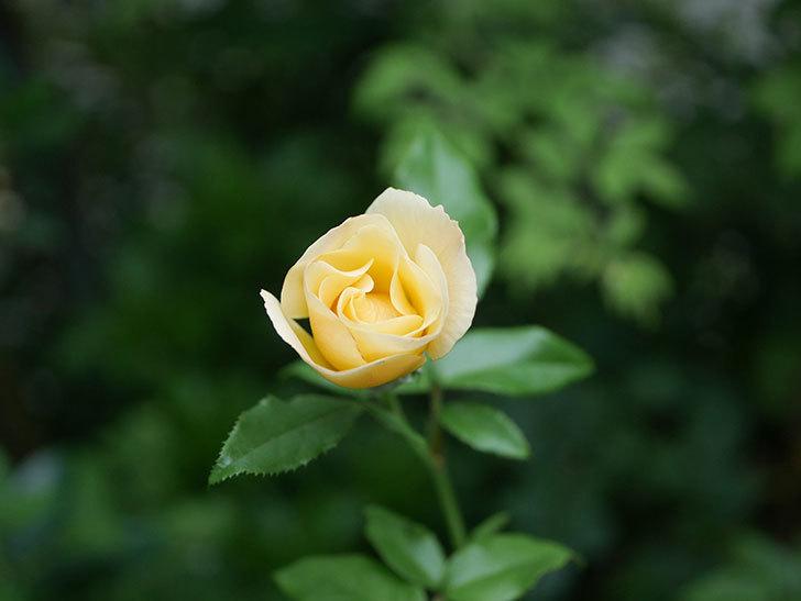 サプライズ(Surprise)の2番花が咲いた。木立バラ。2020年-004.jpg