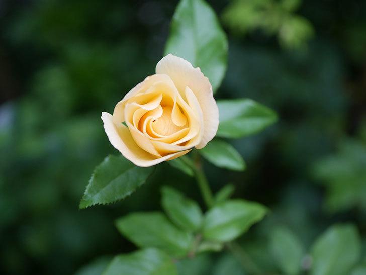 サプライズ(Surprise)の2番花が咲いた。木立バラ。2020年-005.jpg
