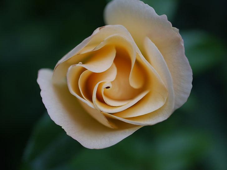 サプライズ(Surprise)の2番花が咲いた。木立バラ。2020年-006.jpg