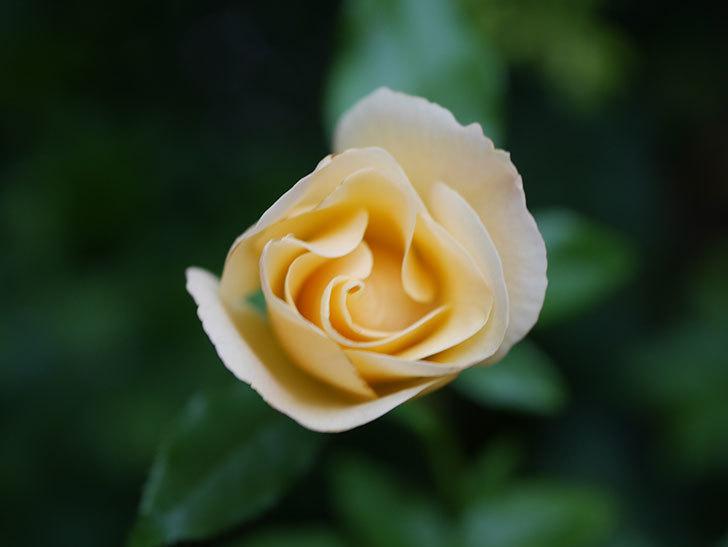 サプライズ(Surprise)の2番花が咲いた。木立バラ。2020年-007.jpg