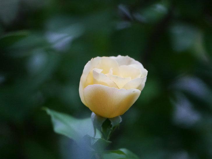 サプライズ(Surprise)の2番花が咲いた。木立バラ。2020年-009.jpg