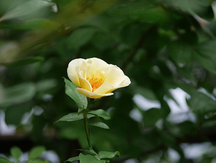 サプライズ(Surprise)の2番花が咲いた。木立バラ。2020年-010.jpg