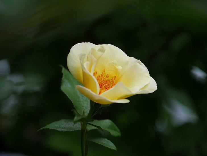 サプライズ(Surprise)の2番花が咲いた。木立バラ。2020年-011.jpg