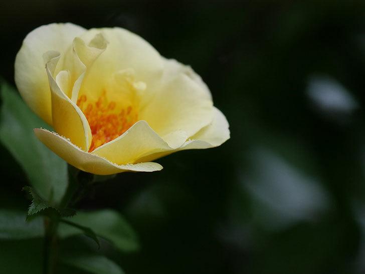 サプライズ(Surprise)の2番花が咲いた。木立バラ。2020年-012.jpg
