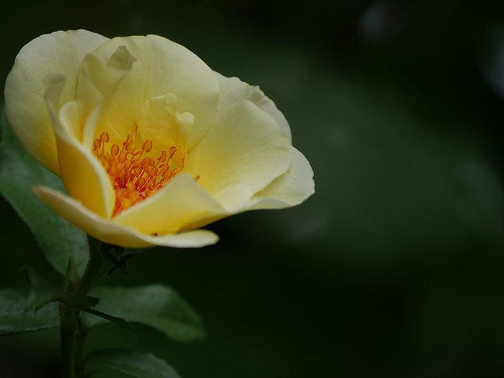 サプライズ(Surprise)の2番花が咲いた。木立バラ。2020年-013.jpg