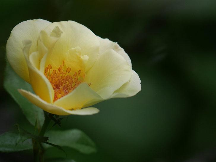 サプライズ(Surprise)の2番花が咲いた。木立バラ。2020年-014.jpg
