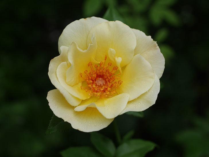サプライズ(Surprise)の2番花が咲いた。木立バラ。2020年-015.jpg