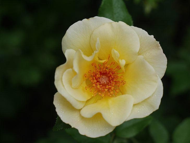 サプライズ(Surprise)の2番花が咲いた。木立バラ。2020年-016.jpg