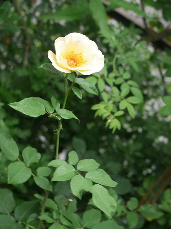 サプライズ(Surprise)の2番花が咲いた。木立バラ。2020年-018.jpg