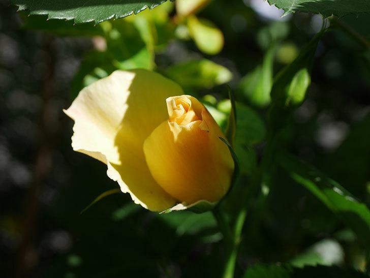 サプライズ(Surprise)の花が咲いた。木立バラ。2021年-007.jpg