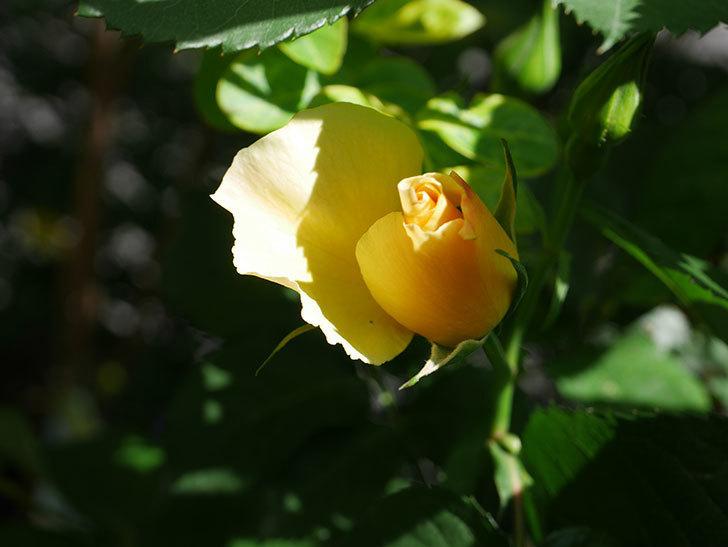 サプライズ(Surprise)の花が咲いた。木立バラ。2021年-009.jpg