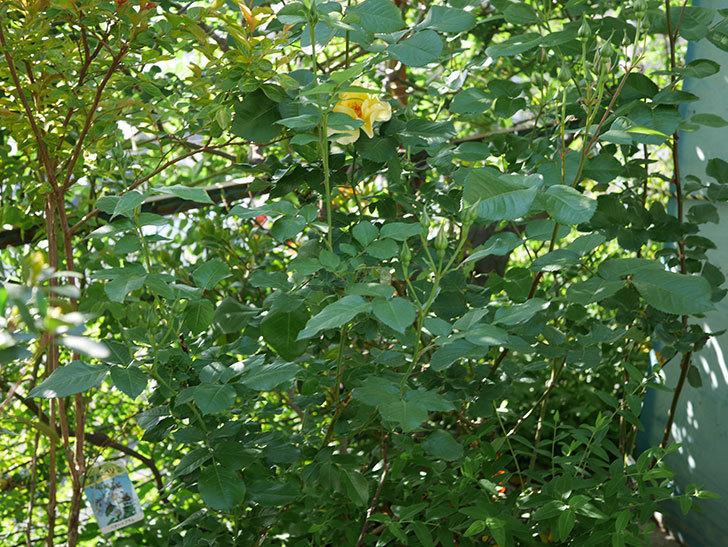 サプライズ(Surprise)の花が咲いた。木立バラ。2021年-013.jpg