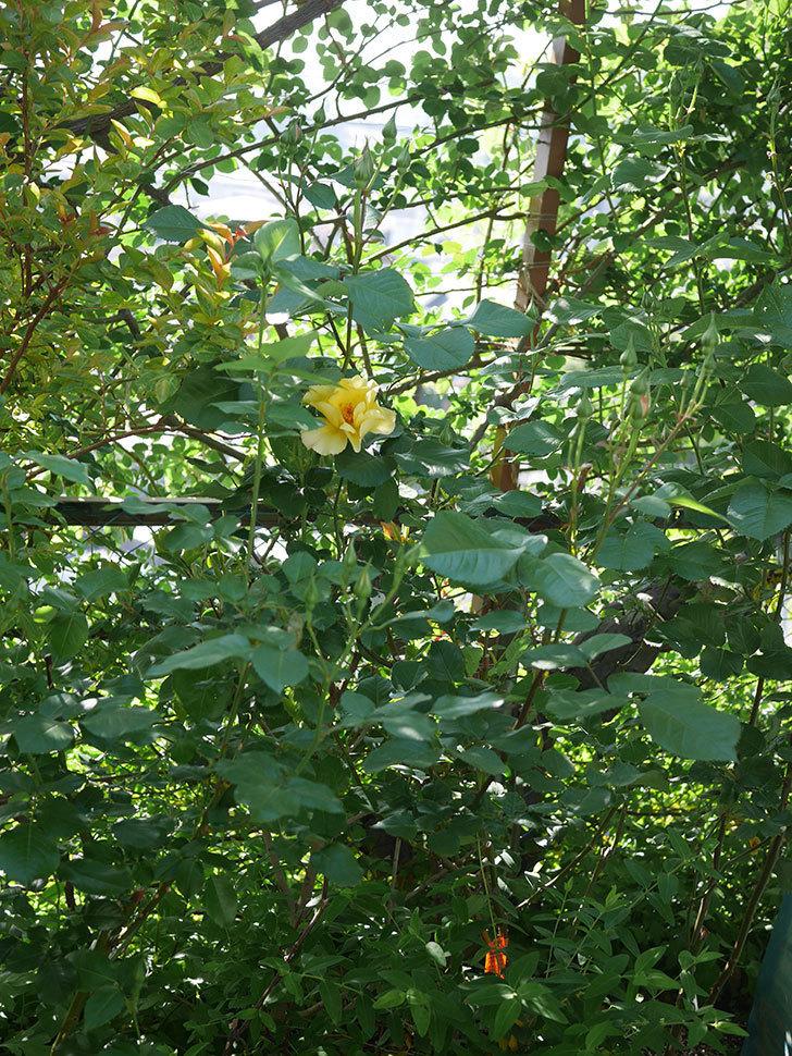 サプライズ(Surprise)の花が咲いた。木立バラ。2021年-014.jpg