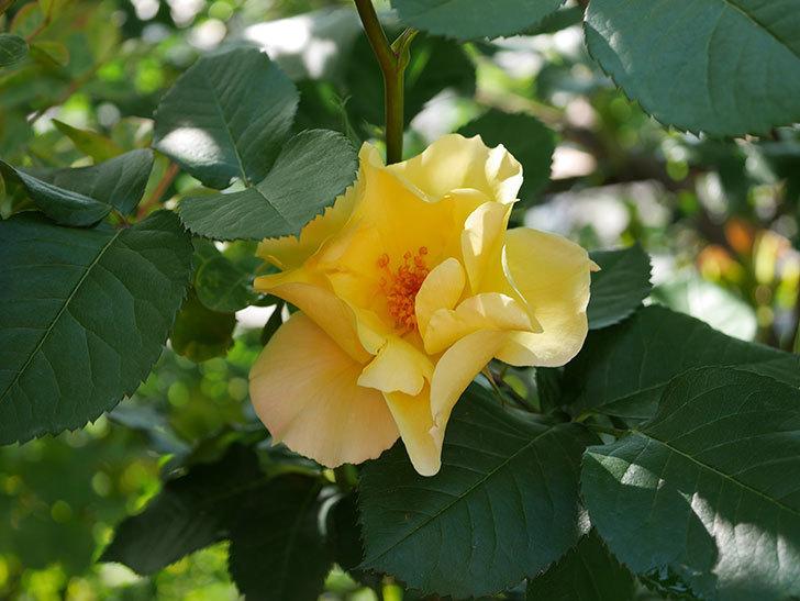 サプライズ(Surprise)の花が咲いた。木立バラ。2021年-015.jpg