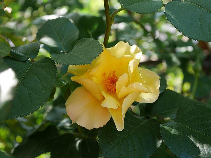 サプライズ(Surprise)の花が咲いた。木立バラ。2021年-016.jpg